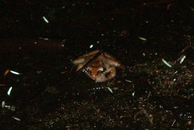 brownfrog.jpg