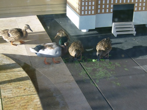 duckpal4
