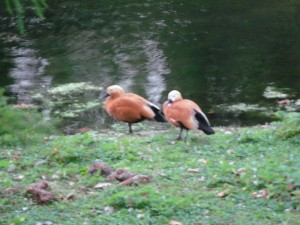 redbirds
