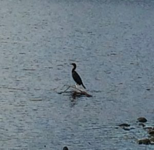 A cormorant sitting on a small branch sticking out of the water.  Water is all around.