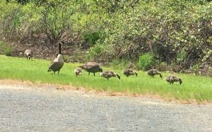 Geese with goslings in grass