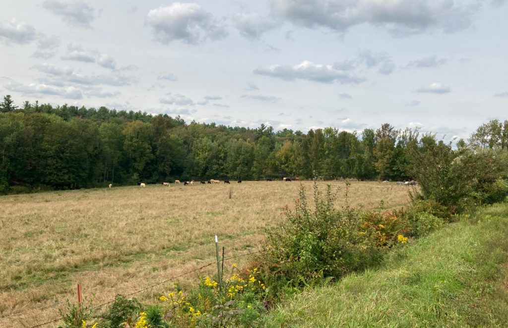 Large pasture with cows grazing in the distance, and trees beyond them.