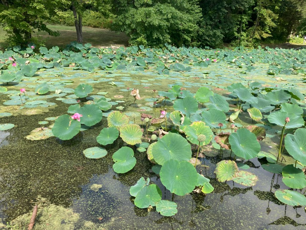 Large amount of aquatic plants with big green leaves, and some have pink flowers