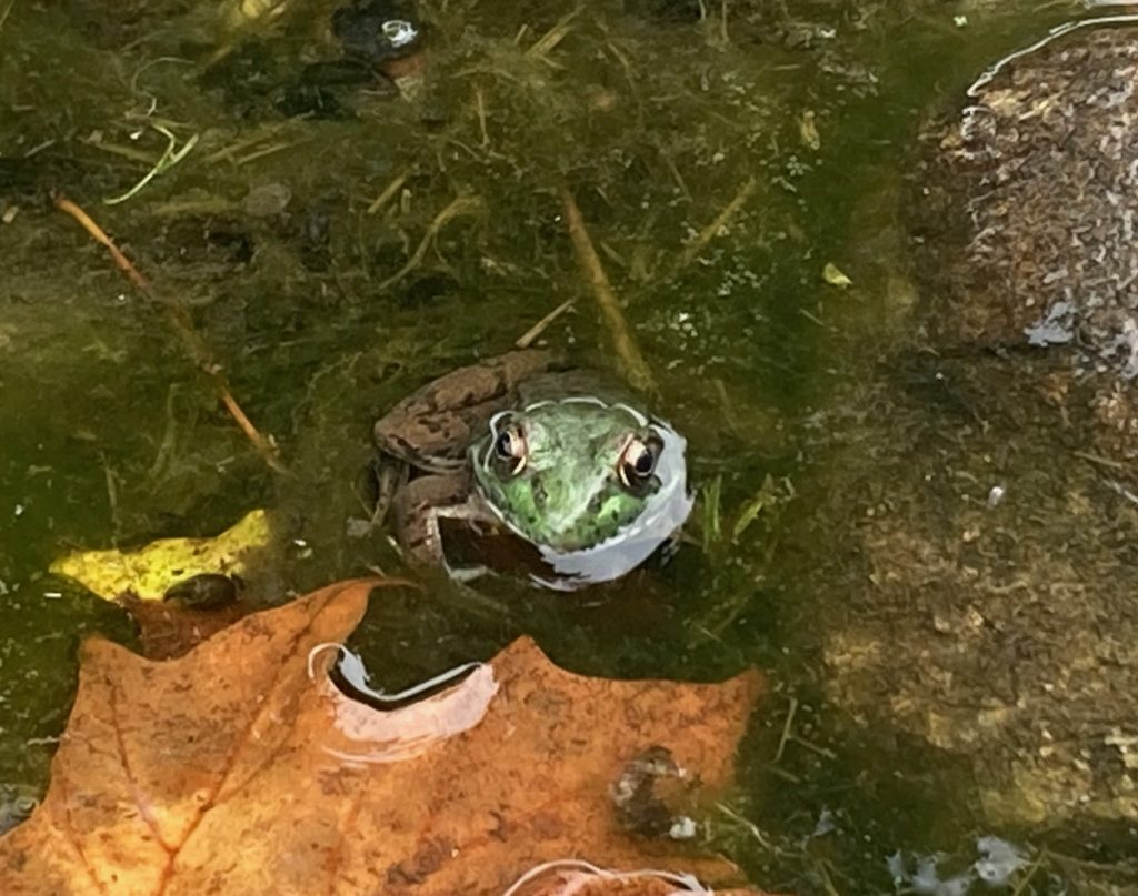 A green frog sits in very shallow water, with the top of its head sticking out, facing the camers.  There are some twigs and a dry maple leaf in the water.