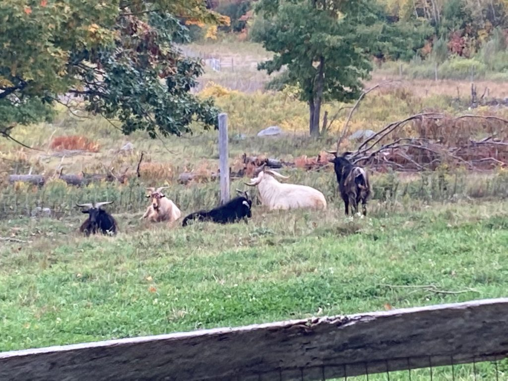 Five goats - 2 white and 3 black - resting in a pasture, with trees and brush beyond.